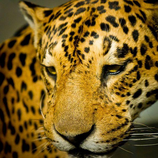 Luipaard van Robert Kersbergen