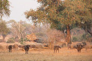 Büffel in der goldenen Stunde von Anja Brouwer Fotografie