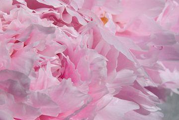 Drawn By Nature, Paeonia - Pioenroos roze #005 van Peter Baak