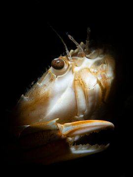 Mysteriöses Porträt einer gewöhnlichen Schwimmkrabbe von René Weterings