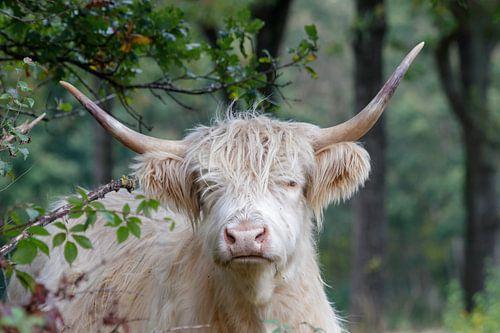 Blonde schottische Hochlandbewohnerin