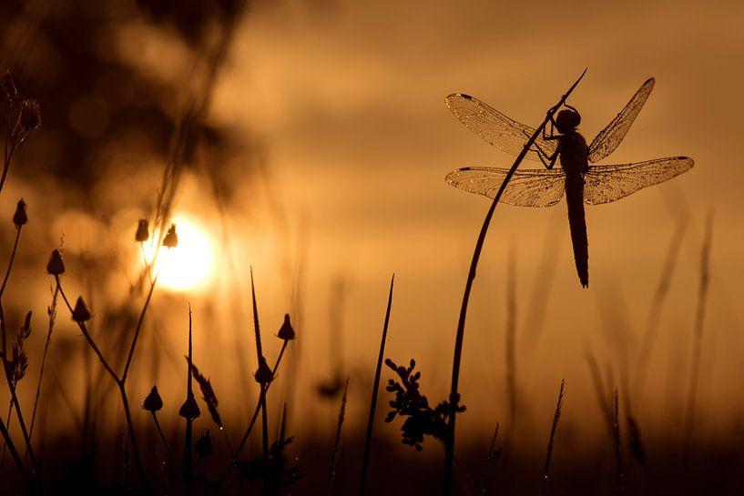 Gewone Oeverlibel bij zonsopkomst van Erik Veldkamp