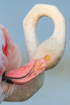 Flamingo-Porträt in Nahaufnahme von Nature in Stock