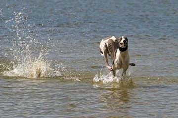 Greyhound van Patrick vdf. van der Heijden