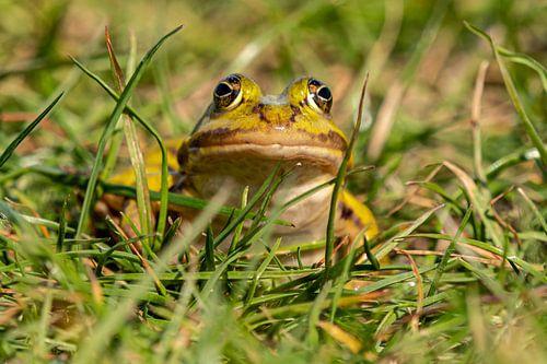 Kikker in het gras van Arie Jan van Termeij