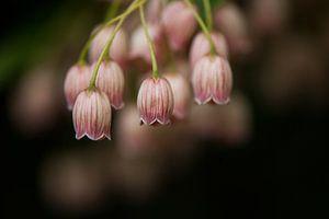 Het Pronkklokje bloeit prachtig in het voorjaar van