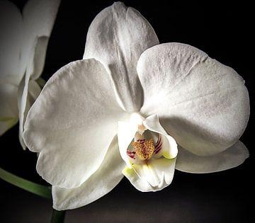 Weiße Orchidee sur Nannie van der Wal
