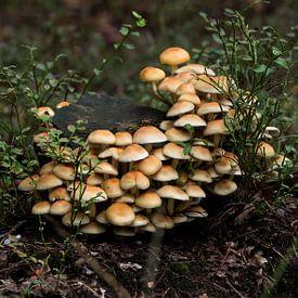 groep paddenstoelen in het bos tijdens de herfst op de veluwe van Compuinfoto .