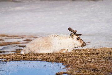 Spitsbergen Rendier van Merijn Loch