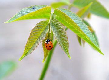 Lieveheersbeestje op blad