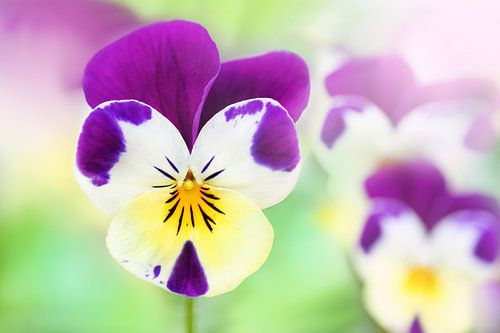 Het drie kleurig viooltje van