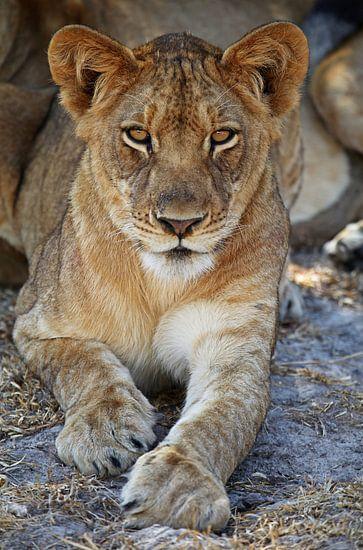 Young lion - Africa wildlife van W. Woyke
