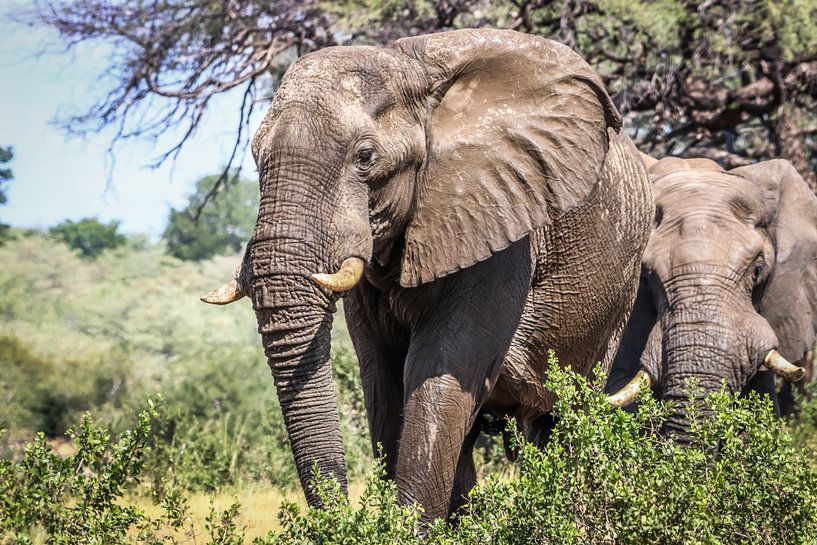 Schitterende Afrikaanse Olifanten van Original Mostert Photography
