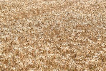 Getreidefeld in der Normandie, Frankreich von Christa Stroo fotografie