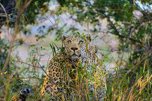 Leopard stalking it's prey in the Kruger park von Tim Sawyer
