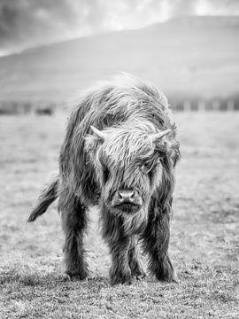 Schottisches Highlander-Kalb von John van den Heuvel