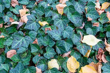 Bladeren van klimop in de herfst van Fartifos