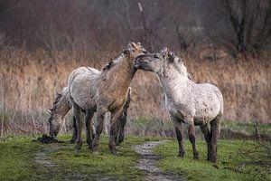 Konikpaarden van Andy van der Steen - Fotografie