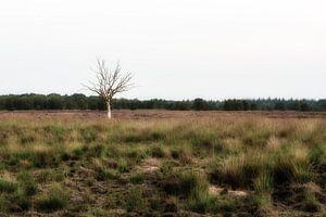 Eenzame boom op de heide van