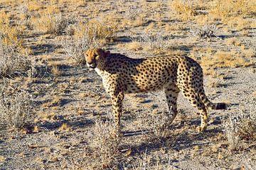 Gepard in Nambia von Merijn Loch