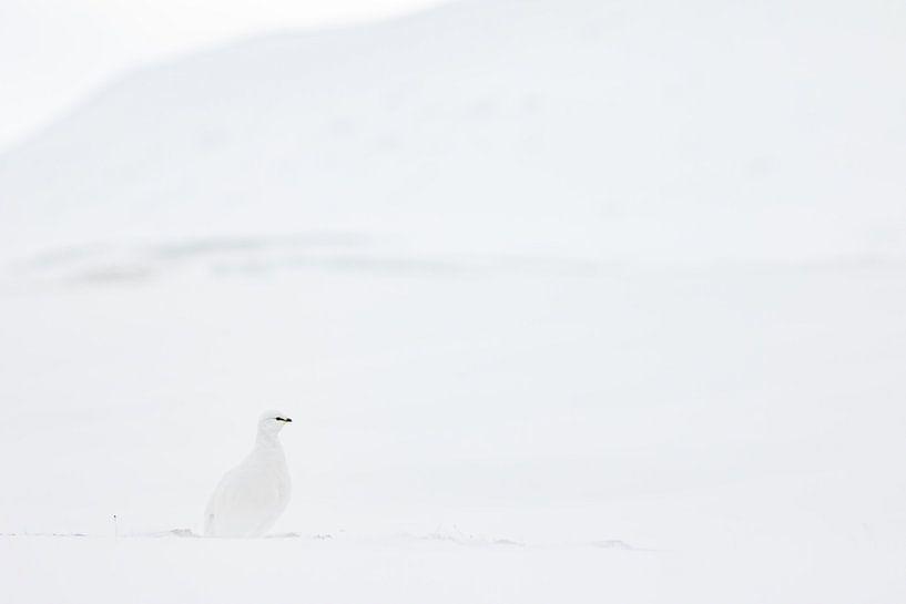 Sneeuwhoen in het sneeuwlandschap van Sam Mannaerts Natuurfotografie