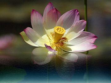 Lotus von Gertrud Scheffler