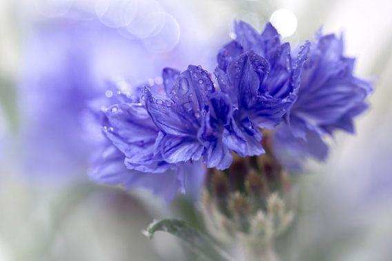 Blue Beauty..... (bloem, blauw, macro)