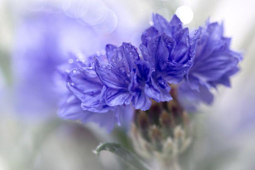 Blue Beauty..... (bloem, blauw, macro) van Bob Daalder
