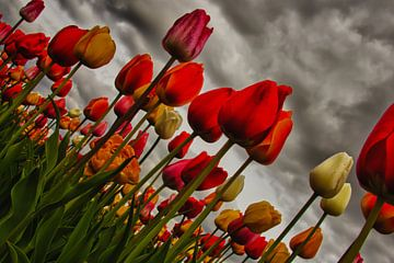 Daarom houden wij van tulpen van Olaf Eckhardt