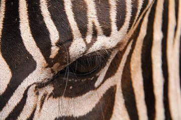 Zebra von Lotte van Dulmen