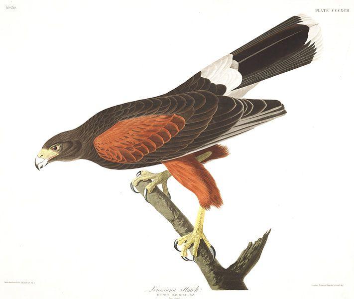 Woestijnbuizerd van Birds of America
