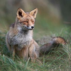 Red Fox ( Vulpes vulpes ), in nice winter fur, sitting at the edge of a forest in high grass, focuse van wunderbare Erde