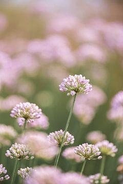 Allium von Patrick Verheij