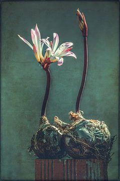 Belladonnalelie van Carina Stroo Cloeck