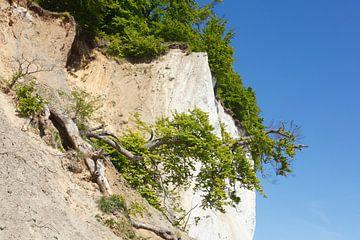 Kreideküste, Baum, Nationalpark Jasmund, Sassnitz, Insel R�gen, Mecklenburg-Vorpommern, Deutschland, von Torsten Krüger