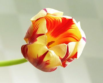 tulp flame 2 von Jonathan Kremer