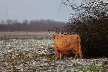 Schotse Hooglander in sneeuwlandschap van Miranda Geerts