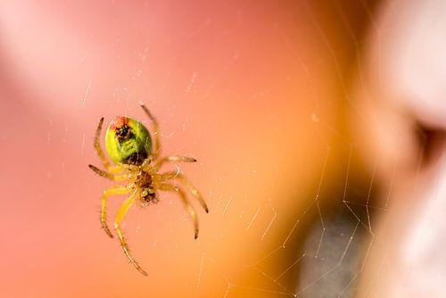 Araignée van