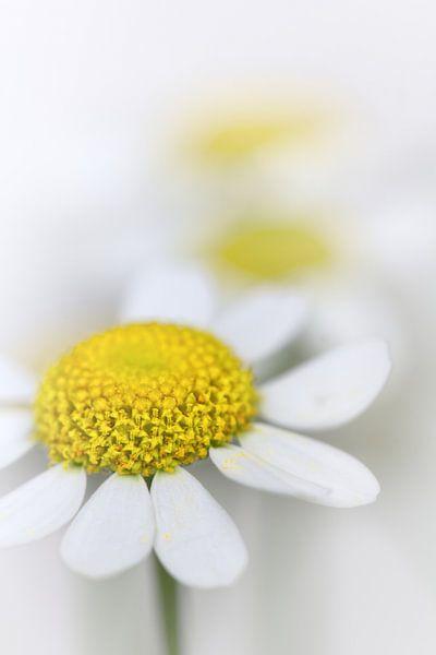 Kamille (bloem, geel, licht, zomer)