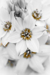 Witte bloemen (macro)