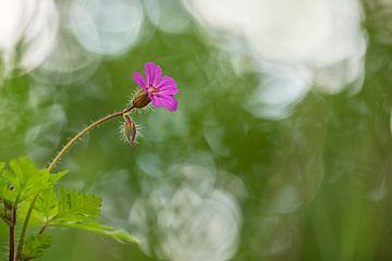Robert-Kraut (Geranium robertianum) von Carola Schellekens