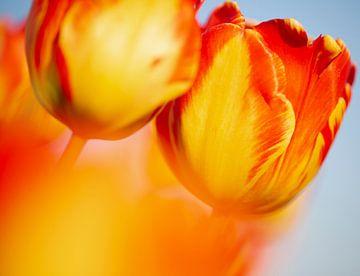 Oranje rode tulp van Astrid Volten