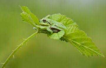 Baumfrosch auf Brombeerblatt in grün von Jeroen Stel