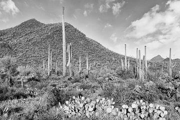 SAGUARO NATIONAAL PARK Desert Landschap | Monochroom van