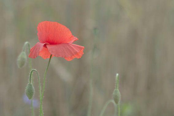 poppy in a field of wheat