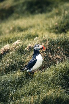Papegaaiduiker op de Faeröer Eilanden van Expeditie Aardbol
