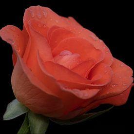 Waterdruppels op een oranje roos close up met zwarte achtergrond van JM de Jong-Jansen