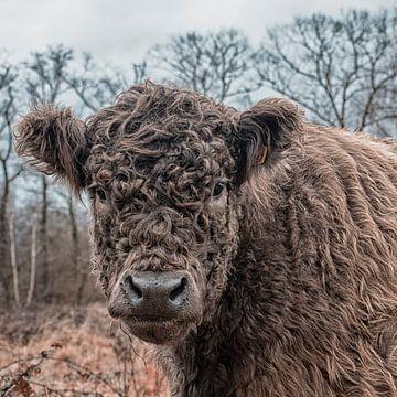 Porträt eines Galloway-Rindes von Ronenvief