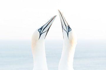 Northern gannet (Morus bassanus), Helgoland, Germany von Ed van Loon