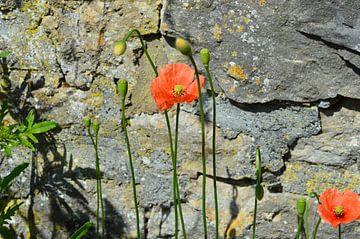 Klaprozen Bloemen voor de muur van Susanne Seidel